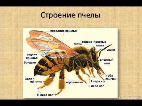 Медоносная пчела: строение и поведение