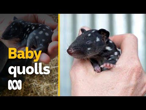 Baby oosterse quolls geboren in gevangenschap geven hoop op uitsterven omkering