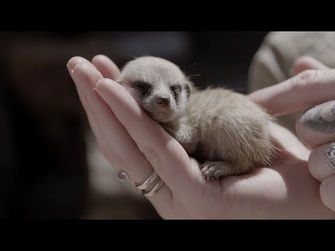 Cute Baby Meerkats Explore Their New World