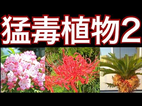 , title : '【日本の身近にある毒草の猛毒性について】犬猫のいる方は特に必見!危険な猛毒のある植物【ガーデニング】【毒植物ランキング】スズラン、スイセン、シクラメン、カルミア、ポインセチア、彼岸花、デヘンバキア