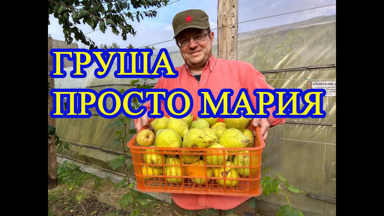 ГРУША ПРОСТО МАРИЯ // PEAR JUST MARIA - the best pear from Belarus