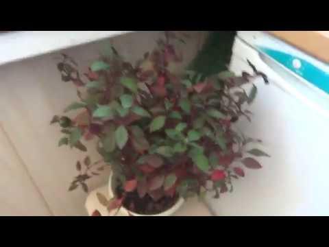 Цветы в моем доме. Комнатные растения. Цветочки с красными листочками.