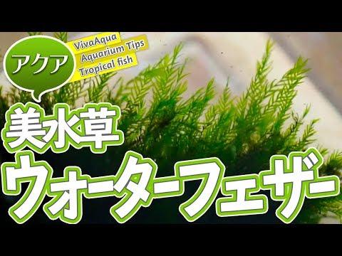 [水草]増えたウォーターフェザーを流木に巻き直す![Aquarium]