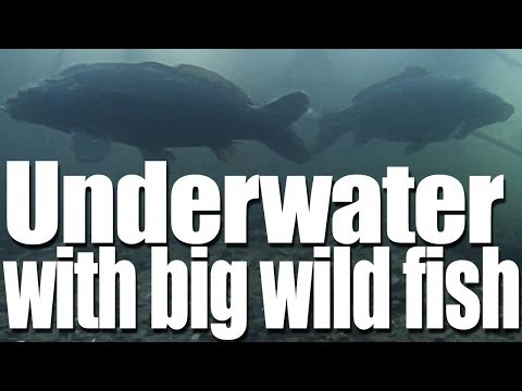 Underwater Filming of Big Carp