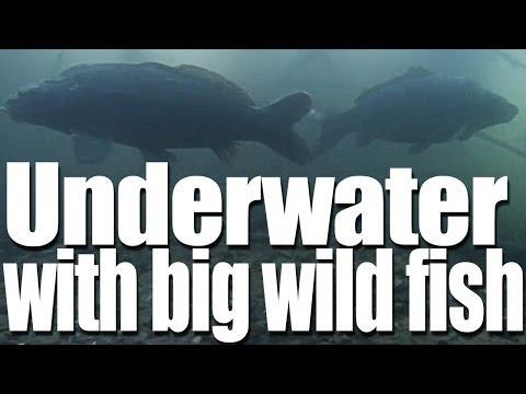 Underwater Filming of Big Carp