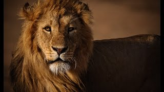 WHY ARE LIONS KING OF THE JUNGLE!? - World of Animals