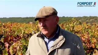 Сбор лучших сортов винограда для вина в Севастополе