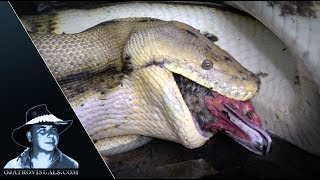 Python Eats Invasive Muscovy Duck 02