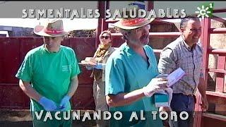 Toros Sementales De El Añadío, Vacunas Con Tensión  | Toros Desde Andalucía