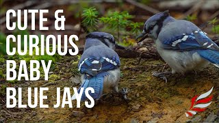 Cute & Curious Fledgling Blue Jays Picking Around