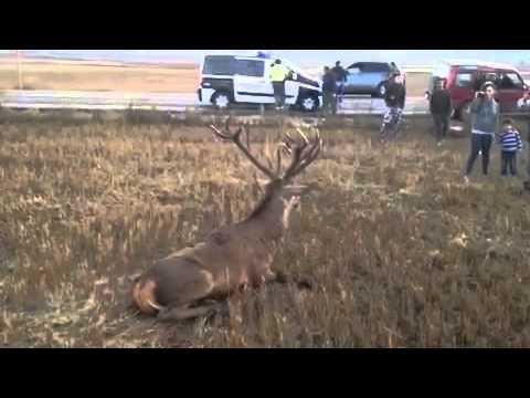 Vídeo de un ciervo atropellado en la provincia.