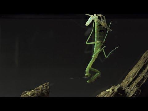 Shield Mantis moulting