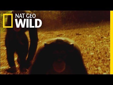 Chimp Escape | Ultimate Predator