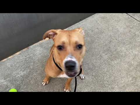 Gunner, an adopted Pit Bull Terrier Mix in Chicago, IL