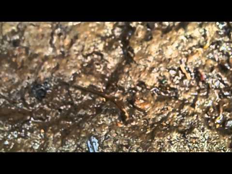Pipino mula sa parasites