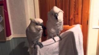 YouTube video E-card cockatoo loves elvisJukin Media Verified Original For licensing permission to use Contact