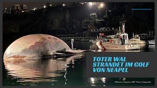 Riesiger Wal geborgen
