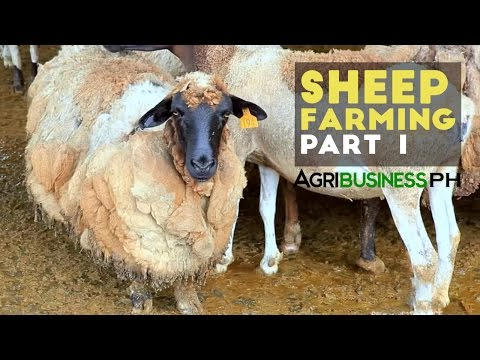 , title : 'Sheep farming in the Philippines | Sheep farming part 1 #Agribusiness