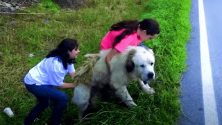 Rescue Abandoned Giant Dog Refuse To Leave His Deceased Brother