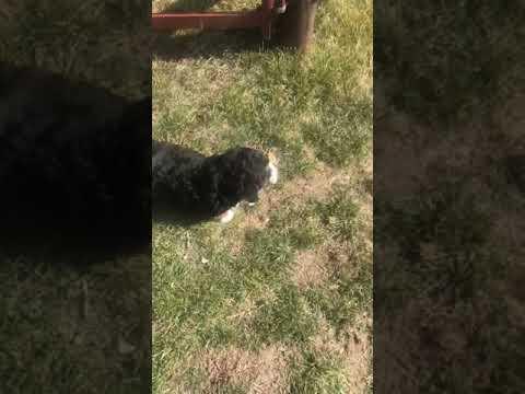 Eli - Bernedoodle, Mini puppy for sale