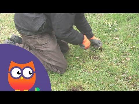 Désherber une pelouse (Ooreka.fr)