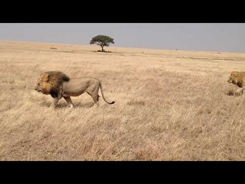Serengeti national park Tanzania. We saw these two males lion walking in the middle of no where!!