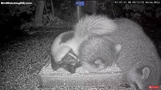 Slo Motion Fight Between a Skunk and Raccoons-(Birdwatching HQ)
