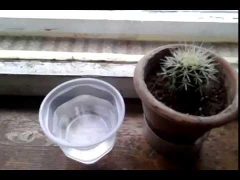 Как правильно поливать кактусы?/ How to water the cactus ?