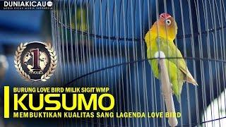 PIALA PASUNDAN - KUSUMO Membuktikan Kualitas Sang Legenda Love Bird