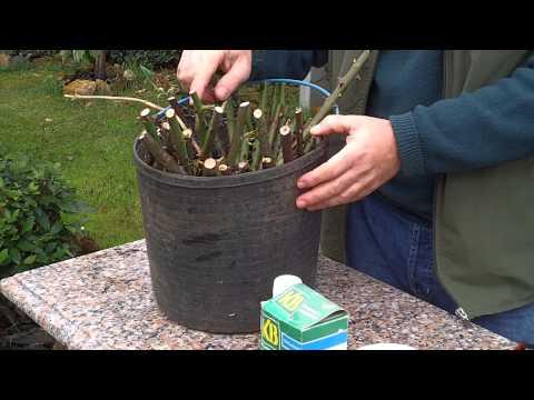 Como se pueden hacer plantas de un rosal yahoo respuestas - Como podar la hortensia ...
