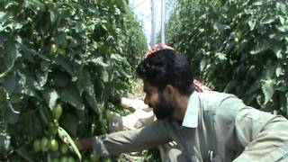 Tunnel Farming High Tunnels Tomato crop high yield agriculture in Pakistan
