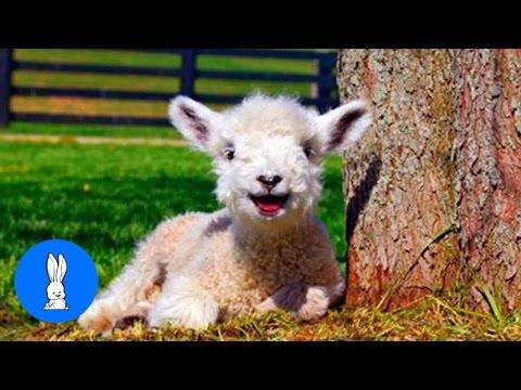 Baby Lamb (Sheep) Goes Baa - CUTEST Compilation