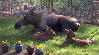 Man looks outside his window and watches a family of moose spend the day in his backyard
