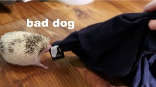My Hedgehog Roams the House for an Entire Video