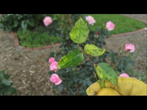 Video What Should You Do If You See This On Your Rose Bushes?