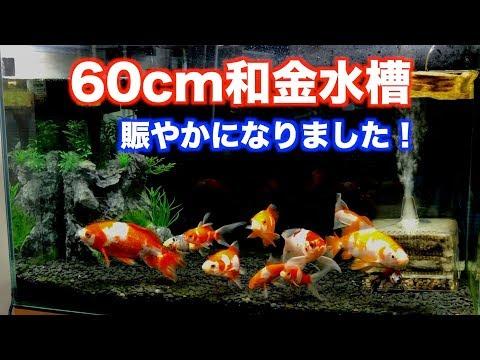 【金魚水槽】久しぶりに60cm和金水槽の様子。【goldfish】