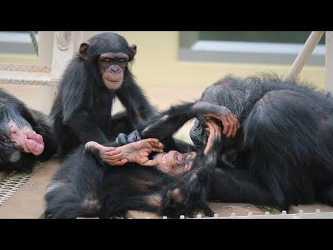 【東山動植物園公式】チンパンジーのふたご。カランとコエのわちゃわちゃ動画