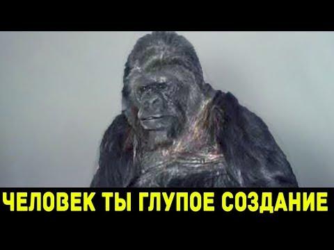 Коко - говорящая горилла