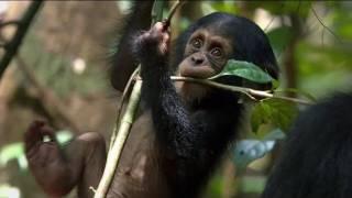 Trailer of Chimpanzee (2012)