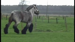 Most Beautiful and Elegant Belgian Draft Horse - Buffalo van 't Zwaluwnest