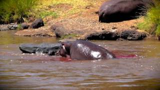 Hippo Gives Birth - Saves Newborn From Croc