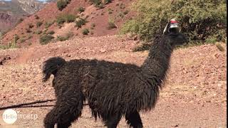 Abenteuer 100 Tage Südamerika: Aus der Nähe schwarzes Lama