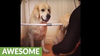 Golden Retrievers Simultaneously Perform Hide-and-seek Trick