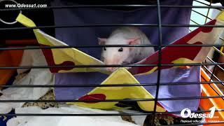 Odessa1.com - Выставка декоративных крыс