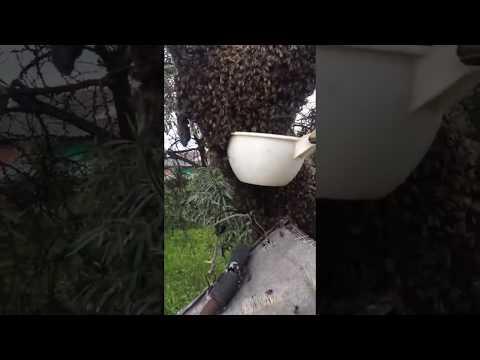 Ловля пчелиного роя обычным ковшом