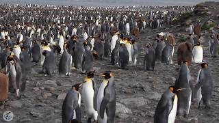 King Penguins in their HUGE colony - South Georgia Island