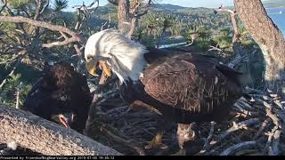 Big Bear Eagles * The Patience of Mom * Simba Xtra Hissy When Mom Comes Home Without Fish * 7/3/19