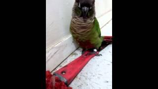 Funny green cheek conure
