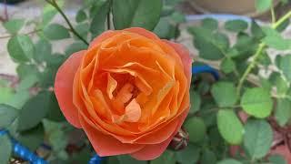Розы Чарльз Дарвин и Леди оф Шалот. Розы а саду!????✨????????♀️✨????