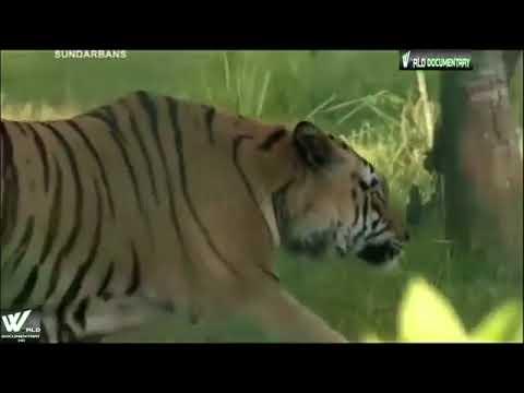 à¤à¤¾à¤°à¤¤ का सबसे खतरनाक जंगल  सुंदरबन    The Dange